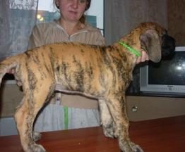 Продаются щенки немецкого дога - фото 1 к объявлению