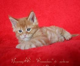 Красивый солнечный котенок мейн-кун - фото 1 к объявлению