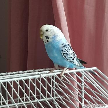 Попугай Маргоша ищет пару и заботливых хозяев - фотография  к объявлению