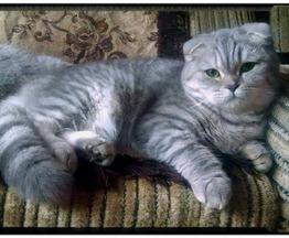 Продается шотландская вислоухая кошка (скоттиш фолд) - фото 1 к объявлению