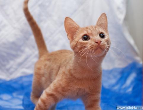 Эксклюзивный рыжий котик ищет заботливых хозяев - фото 1 к объявлению