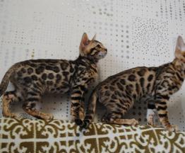 Продам бенгальских котят - фото 1 к объявлению