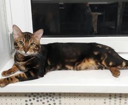 Бенгальский кот приглашает на вязку - фото 1 к объявлению