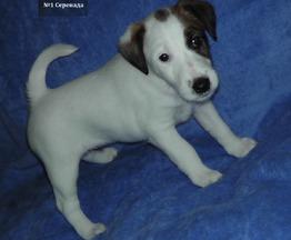 Продаются щенки фокстерьера гладкошерстного - фото 1 к объявлению