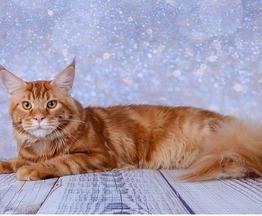 Мейн кун (американская енотовая кошка) приглашает на вязку - фото 1 к объявлению