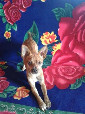 Собака приглашает на вязку - фотография  к объявлению