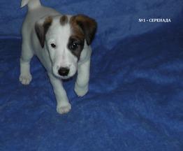 Продается щенок фокстерьера, девочка - фото 1 к объявлению