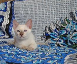 Продаются тайские котята - фото 1 к объявлению