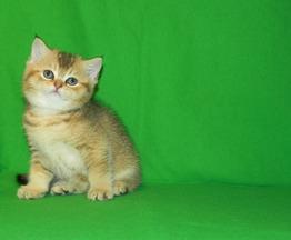 Продается британская короткошерстная кошка - фотография  к объявлению