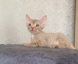 Котята Девон рекс - фото 1 к объявлению