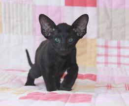 Ориентальный котенок мальчик - фото 1 к объявлению