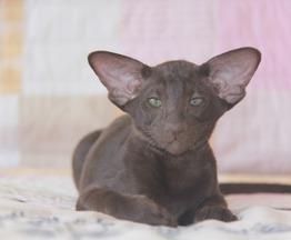 Ориентальный котенок мальчик гавана - фото 1 к объявлению