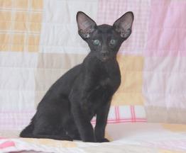 Ориентальный котенок мальчик эбони - фото 1 к объявлению