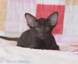 Ориентальный котенок девочка гавана - фото 1 к объявлению