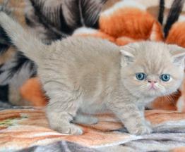 Продается экзот (экзотическая короткошерстная кошка) - фото 1 к объявлению