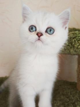 Шотландские котята - фото 1 к объявлению