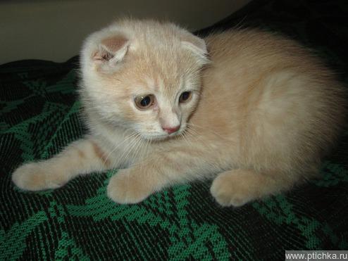 Шотландская вислоухая кошка (скоттиш фолд) ищет заботливых хозяев - фото 1 к объявлению