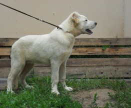 Продается кавказская овчарка-белый кобель - фото 1 к объявлению