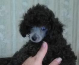 Продаются щенки супер-мини той-пуделя (до 20 см в холке) - фотография  к объявлению