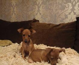 Продаются щенки цвергпинчер (цверг пинчер) - фото 1 к объявлению