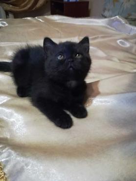 Продается британская короткошерстная кошка - фото 1 к объявлению