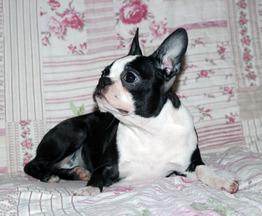 Продаются щенки бостон терьера - фото 1 к объявлению