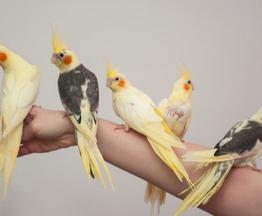 Продается попугай корелла - фотография  к объявлению