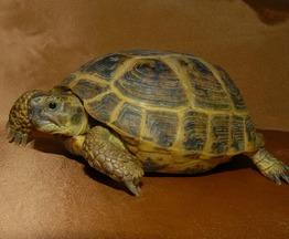 Продается черепаха сухопутная - фотография  к объявлению