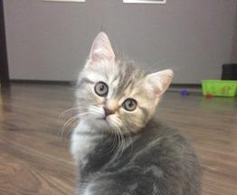 Клубный шотландский котенок - фото 1 к объявлению