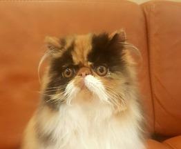 Продается персидская кошка (перс) - фотография  к объявлению