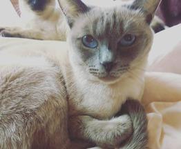 Продается тайский кот - фотография  к объявлению