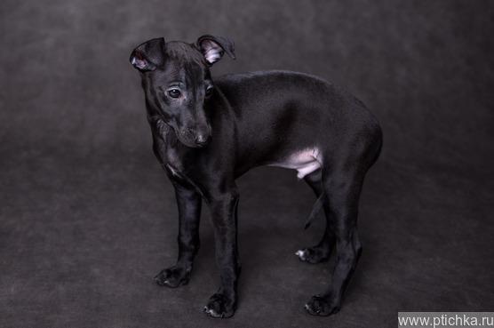 Щенок левретки черного окраса - Антураж - фото 1 к объявлению