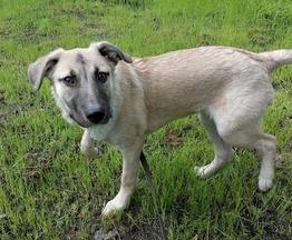 Годовалая собака Тыква ищет заботливых хозяев - фото 1 к объявлению