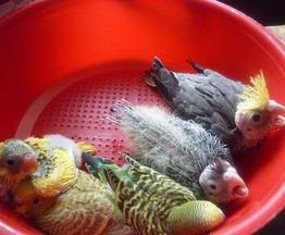 Продается попугай птенец - фото 1 к объявлению