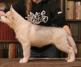 Продаются щенки сибирских хаски - фото 1 к объявлению
