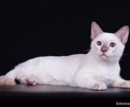 Продается тайская кошка - фото 1 к объявлению