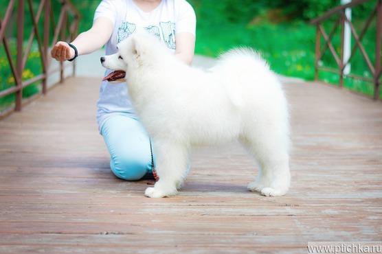 Продается самоедская собака - фото 1 к объявлению