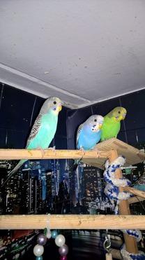 Продается попугай - фотография  к объявлению