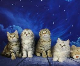Продается шотландская вислоухая кошка (скоттиш фолд) - фотография  к объявлению