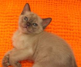 Бурманские котята) - фото 1 к объявлению
