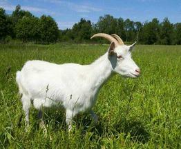 Продаются козы и козлята - фото 1 к объявлению