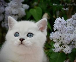 Продается британский короткошерстный котик - фото 1 к объявлению