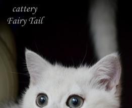 Продается британская короткошерстная кошечка - фото 1 к объявлению