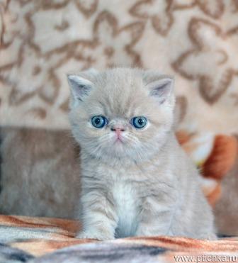 Продается экзот (экзотическая короткошерстная кошка) - фотография  к объявлению
