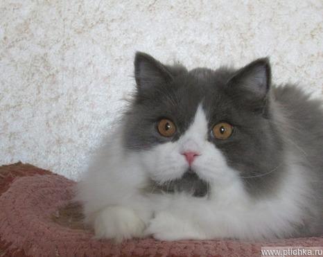 Продается британский длинношерстный котик - фотография  к объявлению