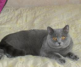 Продается британский короткошерстный котик - фотография  к объявлению