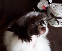 Продается китайская хохлатая собака - фото 1 к объявлению