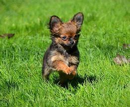 Миниатюрные щенки чихуахуа - фото 1 к объявлению