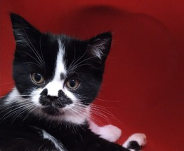 Продается шотландская прямоухая кошка (скоттиш-страйт) - фотография  к объявлению