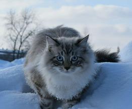 Продается кот невский маскарадный Джаззи Ангел Невы - фото 1 к объявлению